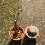 観葉植物の根腐れとサボテン